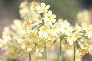 Oxlip plany